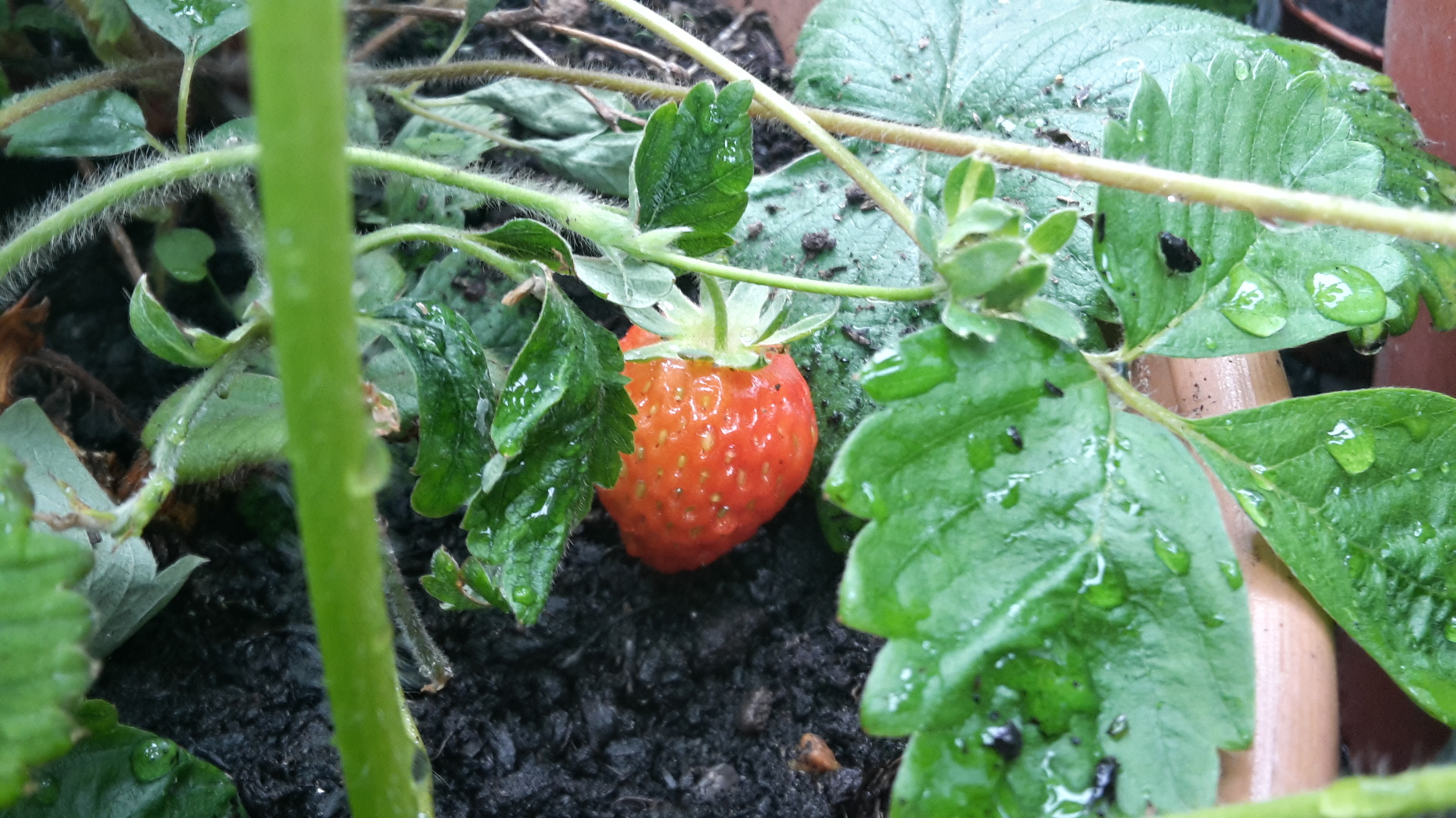 Check out the strawberry I found in my greenhouse!