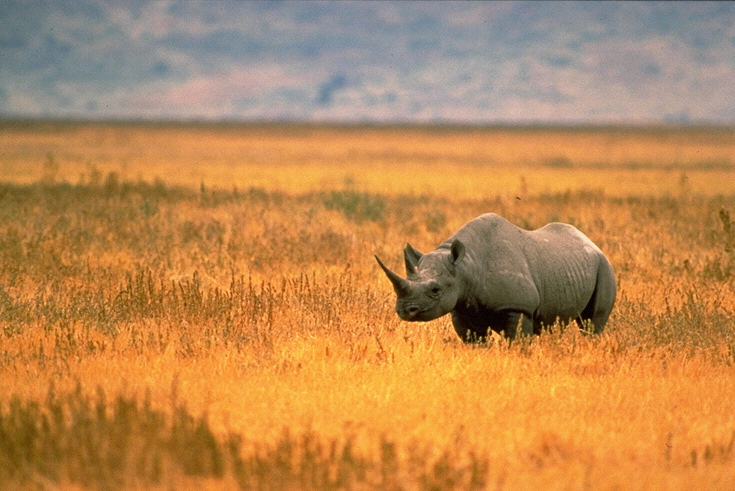 A Black Rhino from WikiMedia Commons.