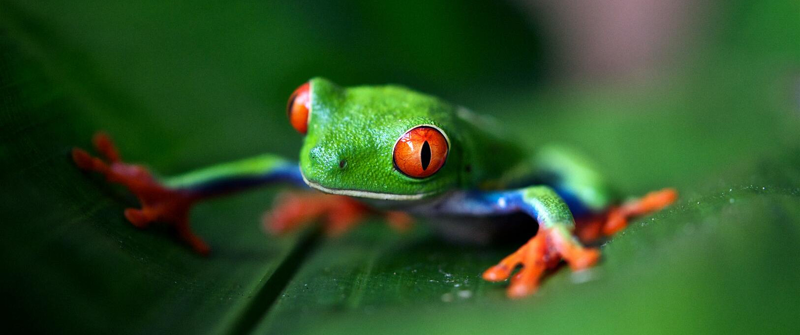 A green tree frog :D